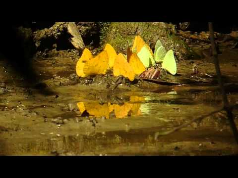 Sulphur butterflies Feeding at Forest Clay Lick in the Yasuni