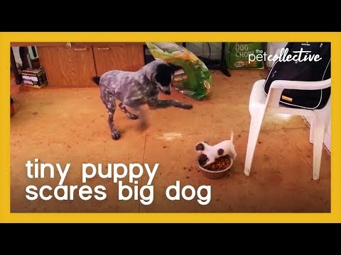 Tiny Puppy Scares Big Dog