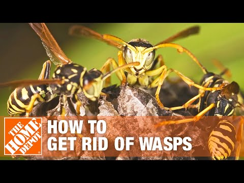 Yellow Jackets - Yellow Jackets & Wasps
