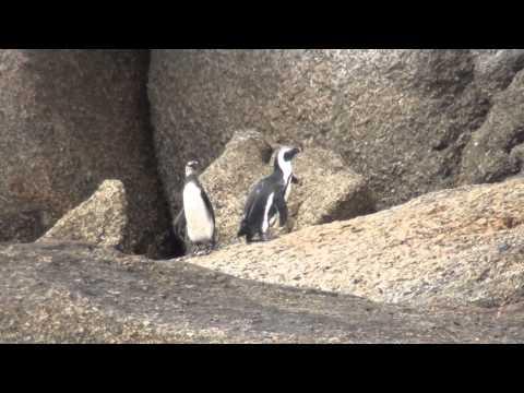 Pinguine in Boulders, Simons Town / Kapstadt