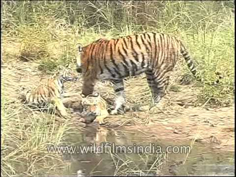Tigress with her cubs in jungle of central India