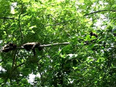Monkeys Crawling and Laying Low Res Video