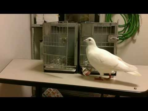 Aubrey Daniels Institute: The Great Escape of Pigeon 2748