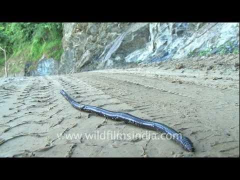 Earthworm following tyre track