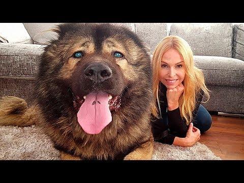 10 Самых Больших Сторожевых Собак в Мире
