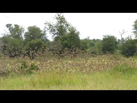 Krugerpark,  Roodbekvinkjes