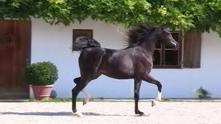 MARNICA Arabian horse mare by Sax Arabians Germany