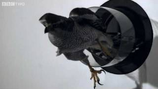 Goshawk Flies Through Tiny Spaces in Slo-Mo! - The Animal's Guide to Britain, Episode 3 - BBC Two