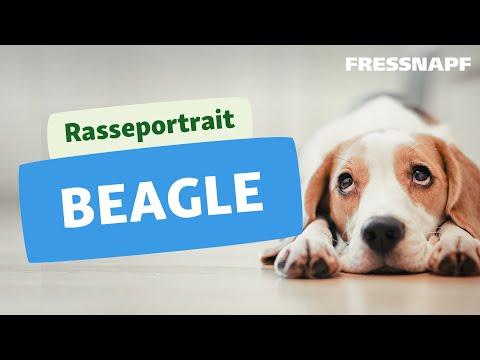 Rasseportrait: Beagle