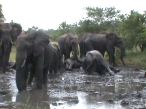 Elephants enjoying a summer mud bath at Shindzela Tented Safari Camp, greater Kruger Park