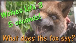 🦊 What does the fox say? 🦊 (Wolves Life 3) - HD