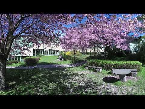 Blommande körsbärsträd vid Geohuset – i 360°