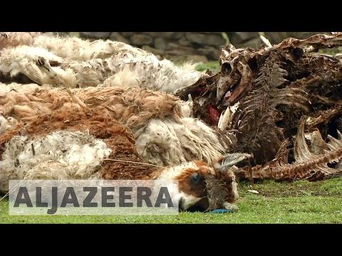 Extreme weather hits Peru's alpacas