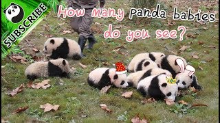 How Many Baby Pandas Do You See?