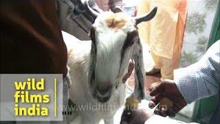 Goat's last supper before qurbani on Bakri-Id, Delhi