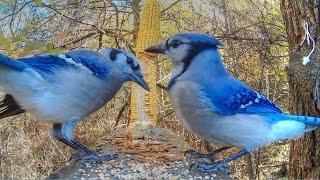 Blue Jay Mobbing Alarm Calls