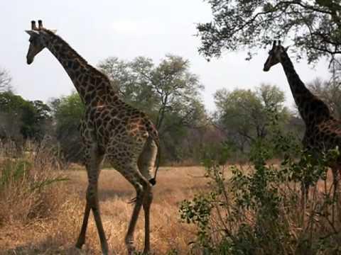 GIRAFES (Kruger National Park)