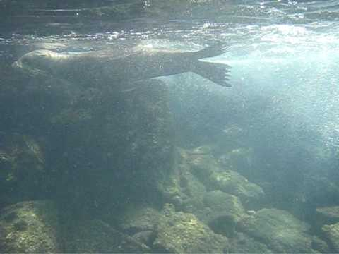 Swimming with Sea Lions in the Galapagos (Part 2)