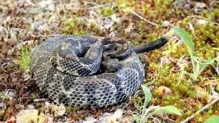 Timber Rattlesnake Rattling