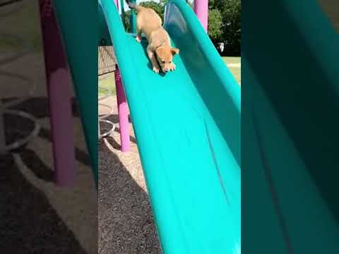 Cute Puppy Goes Down Slide #shorts