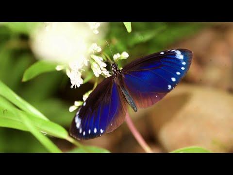 傻瓜接力 救紫蝶 - 茂林土芒果的故事 - YouTube