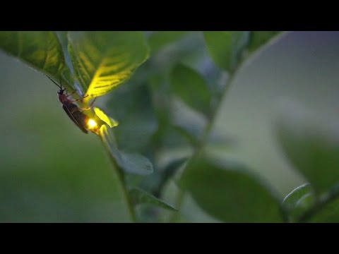 Firefly Gift-Giving: Composition of 'Nuptial Gifts' Revealed