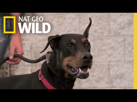 A Doberman Learns to Socialize  | Dog: Impossible