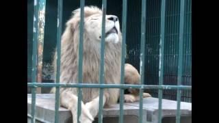 東北のライオンキング いや 白ライオンだからジャングル大帝か