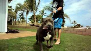"AMERICAN BULLY XL ""EXUDOS"" TEAM RBG HAWAII ROYAL BLOODLINE X XTREME BULLY PITBULLS"