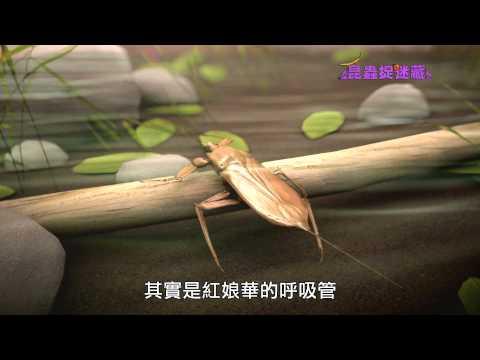 【客語發音】《昆蟲捉迷藏》飄落水中的落葉【水底忍者:紅娘華】 - YouTube