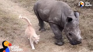 Cat and Baby Rhino are Best Friends   The Dodo Odd Couples