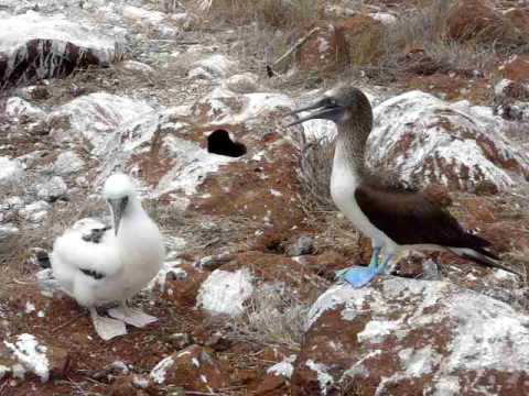 Galapagos Holidays – Booby and Chick