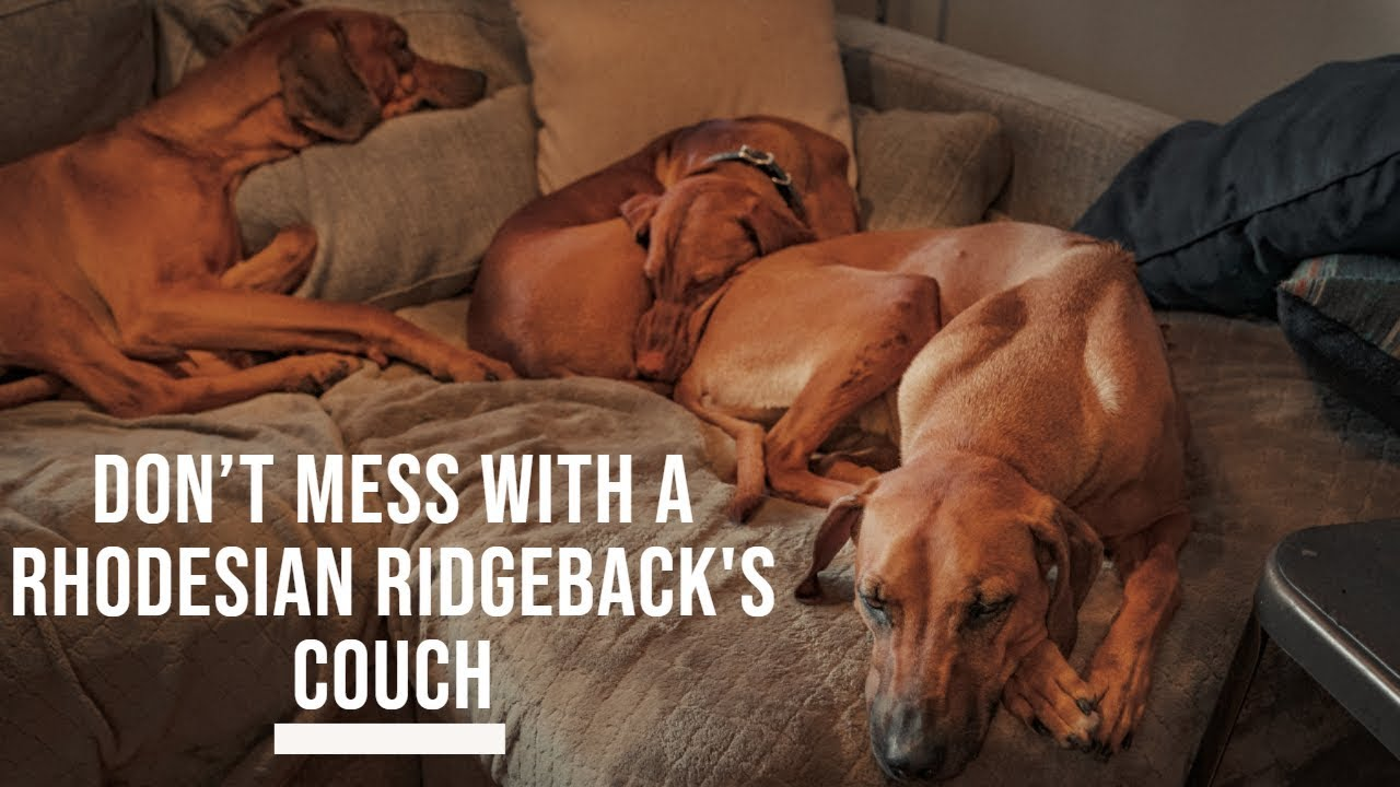 Don't Mess With A Rhodesian Ridgeback's Couch Video Thumbnail