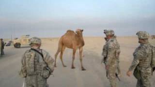 FUNNY VIDEO - Camel vs Soldiers - Who Wins?!?