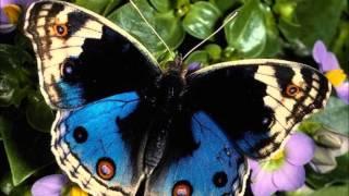 Como una Mariposa-Pandora