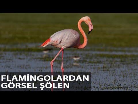 Tuz Gölü'ne Göç Eden Flamingoların Aksaray Molası