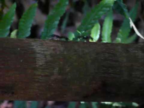 Kathi's Short Shots: Giant Jungle Ants