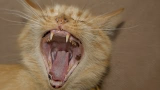cat screaming sound effect | cat meowing non stop loud | cat scary meow