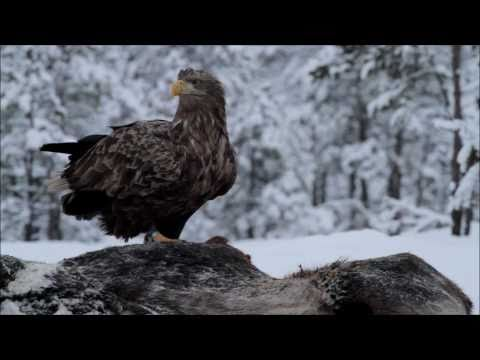 4/15 Kotkavarje - Eaglehide
