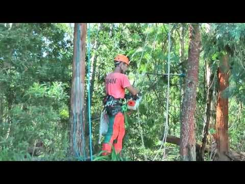 Bekaru Tree Part 3 Rigging and Pruning of two dead trees at parking area