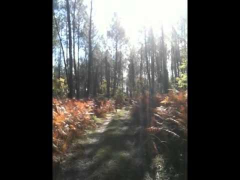 Short Pine Trees In Sun