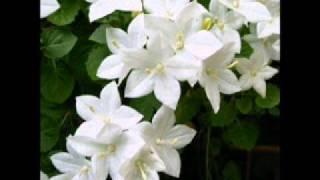 Alexandru Jula - Floare alba din pireu
