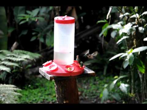Le bal des colibris