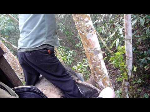 Chitwan-用象鼻捲枝葉吃