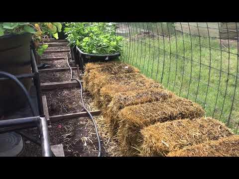 Straw Bale Garden in the Quail Aviary Day 7- STRW -03