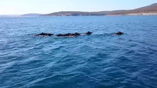Wild Boars Swimming in the Black Sea