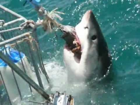 Great White Shark shaking the cage, Mossel Bay, S.A. 2013