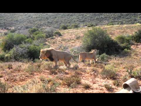 Pride of Lions hunting a warthog – pt. 3