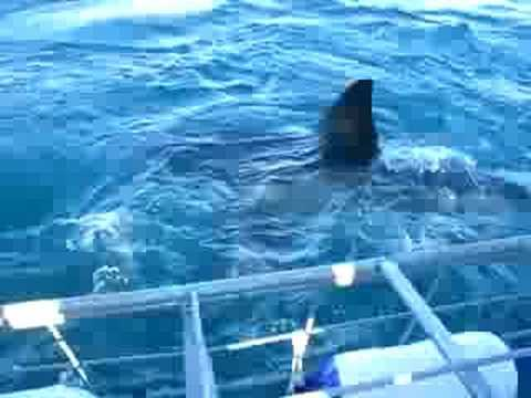 White Shark Attacking The Cage In Gansbaai