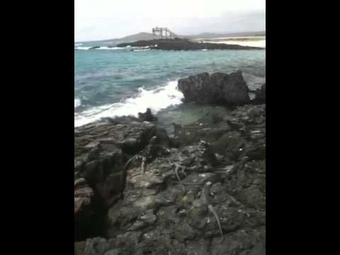 Giant Iguanas in the Galapagos